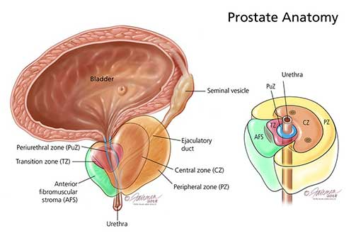 Figure 1. The zones of the normal prostate.